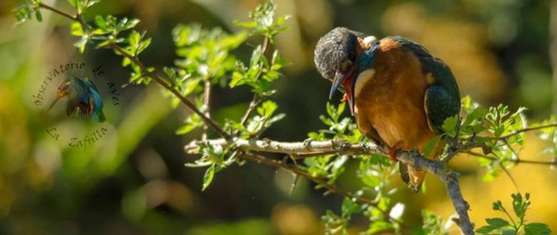 martin.pescador.aposado.rama-birdwatching-casarurallazafrilla-jerezdeloscaballeros.jpg