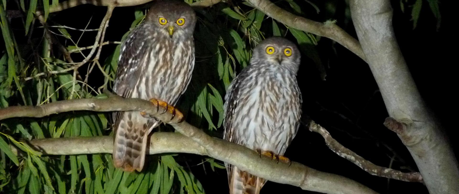 barking_owl_our_place_pair-3.png