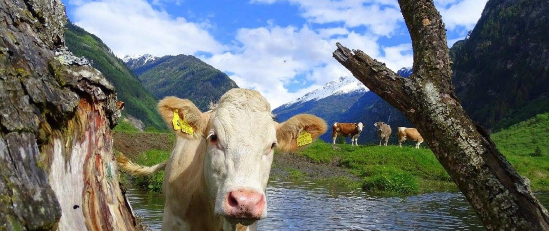 Cow on the blue pool