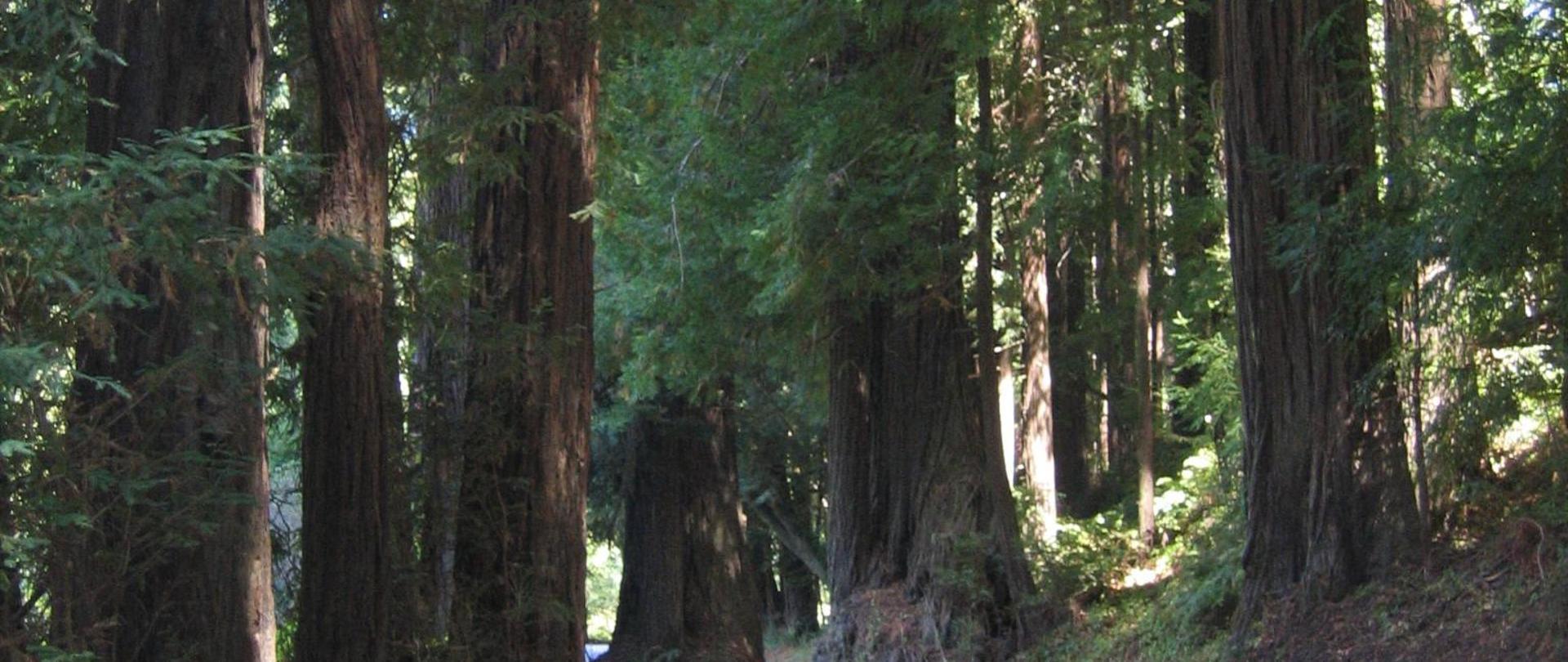 Butano redwoods '04 windy road.JPG