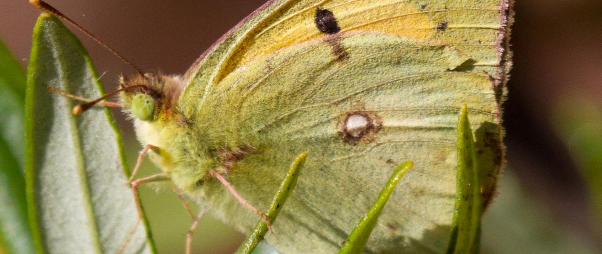 clouded yellow portugal may 15 1 7d 100 400 lr_.jpg