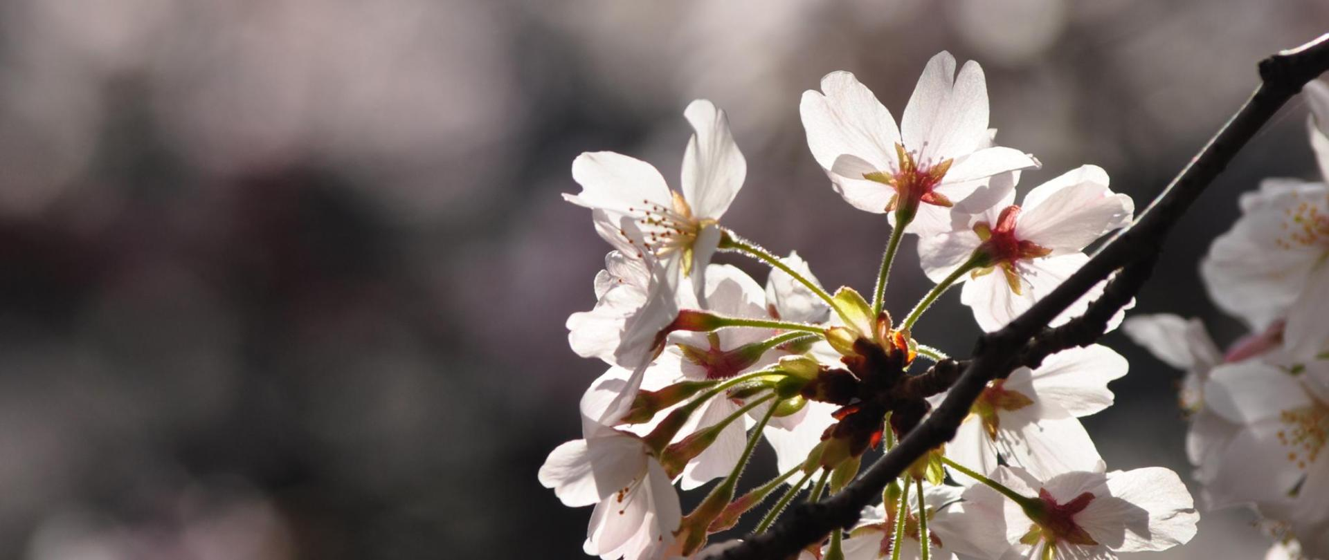 SakuraUP.jpg