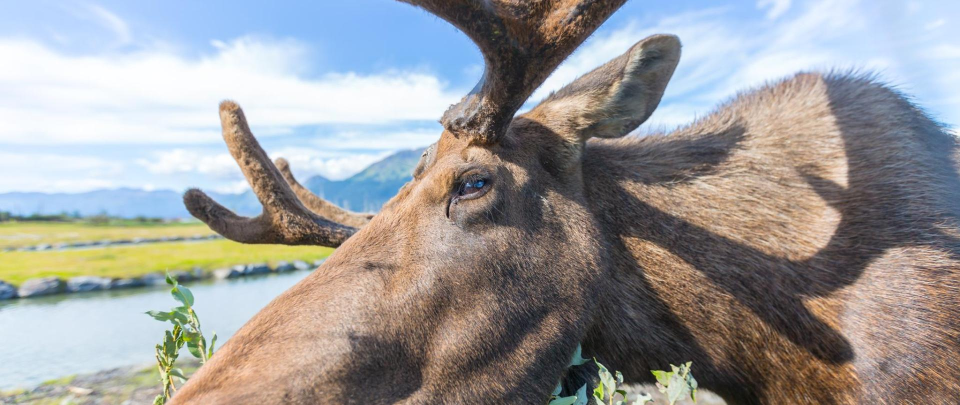 Moose Close up © ThierryDehove AdobeStock_124277118.jpeg