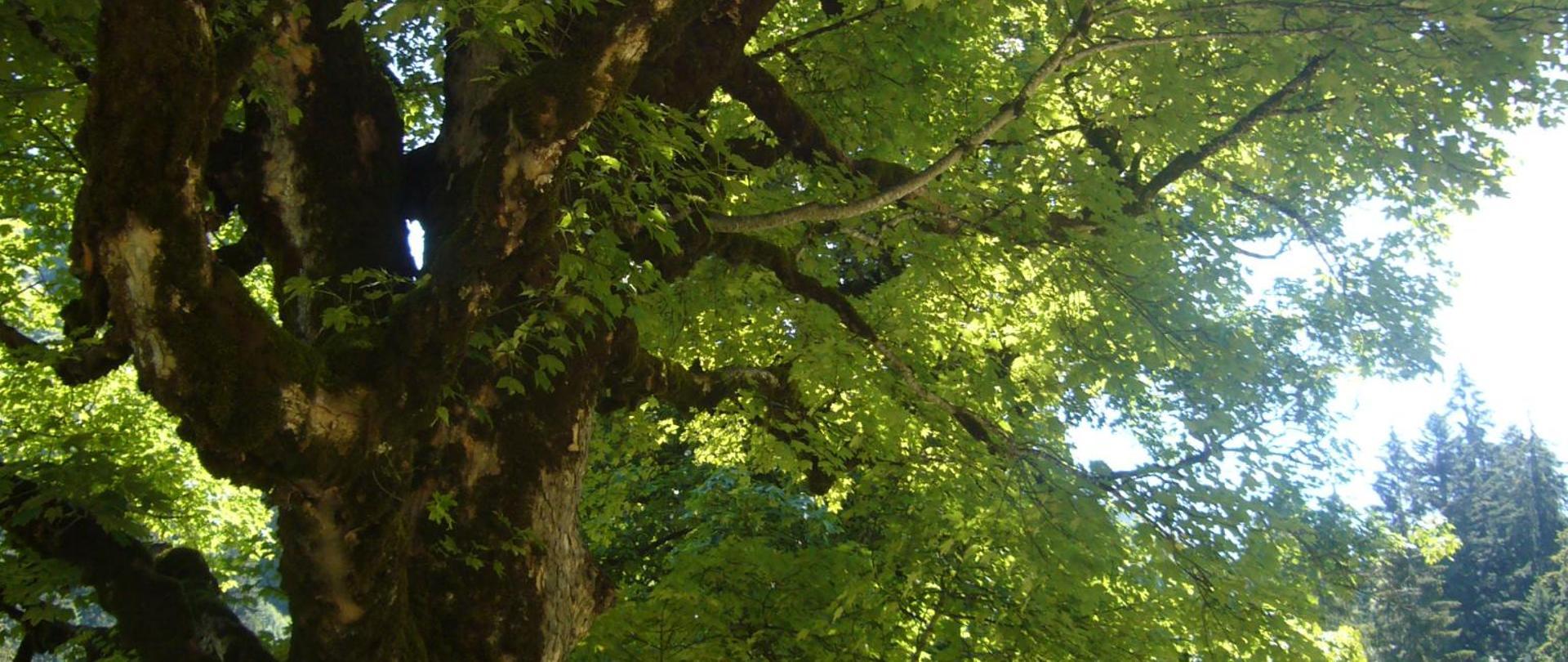 Tausendejähriger Baum.JPG