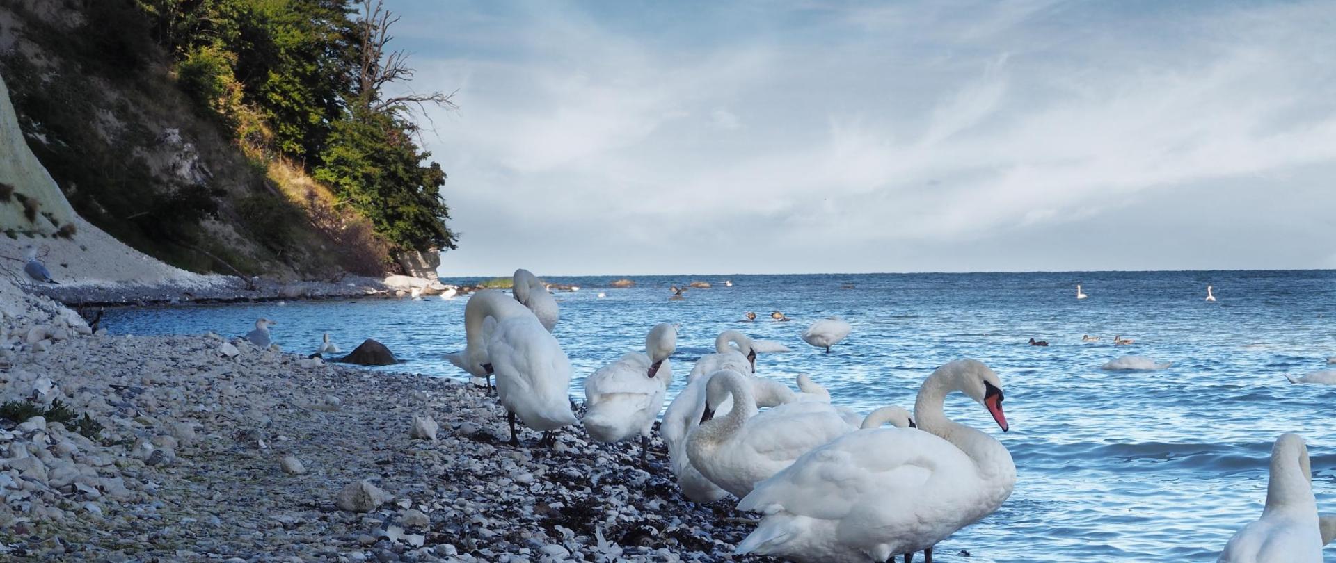 swan-3645434.jpg