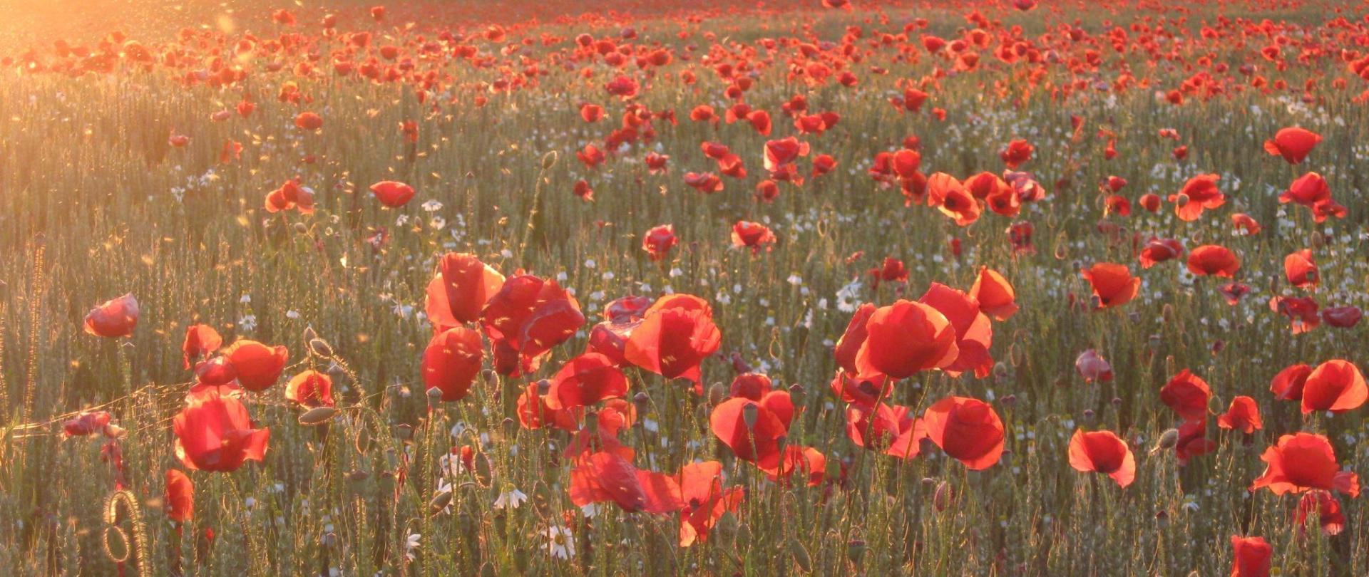 poppy-897741.jpg