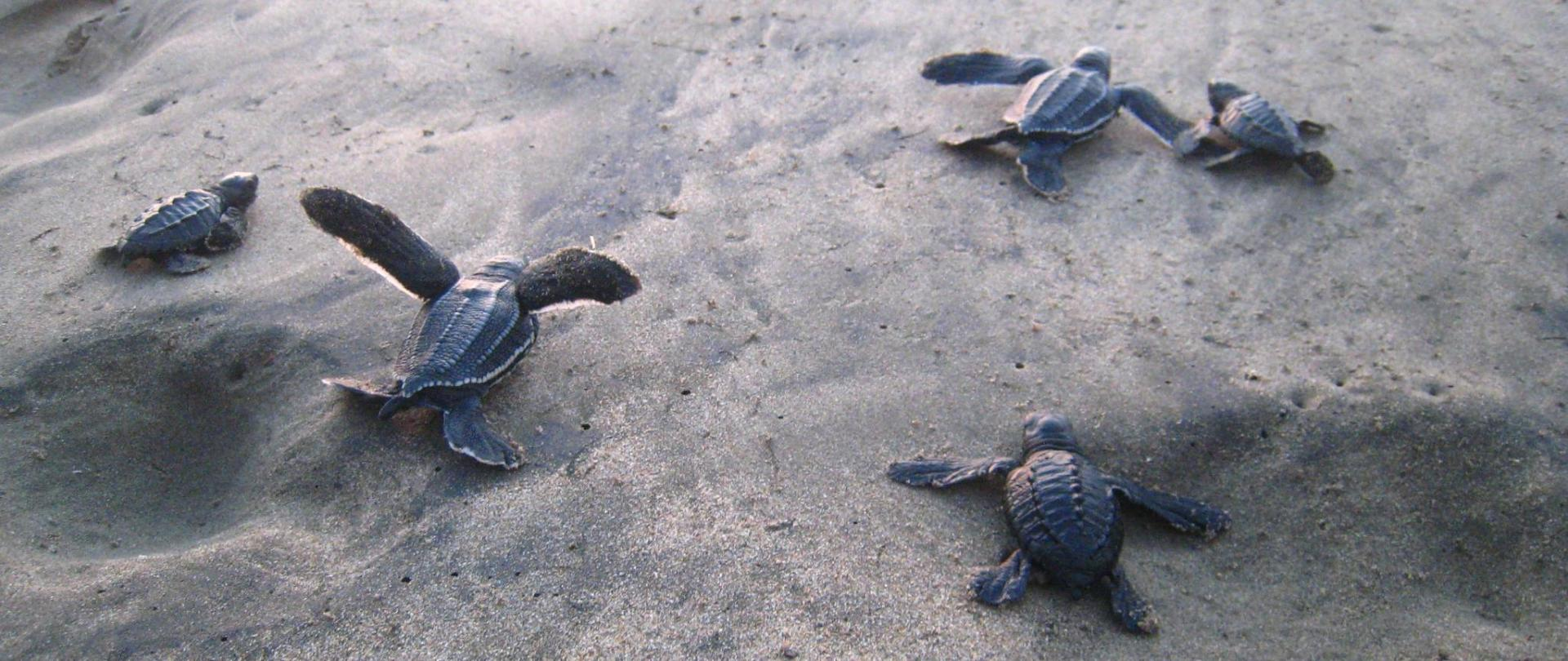 Baby turtles hatching.JPG