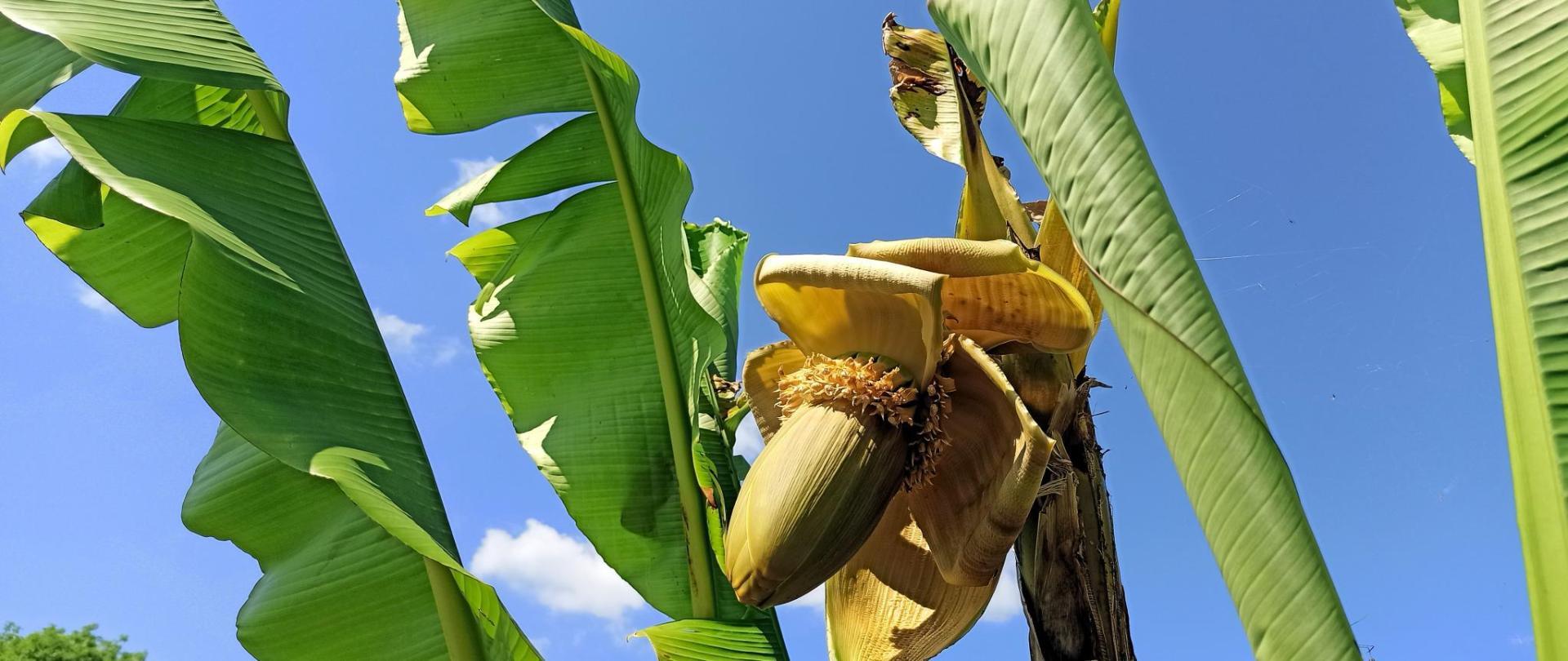 fleur de bananier.jpg