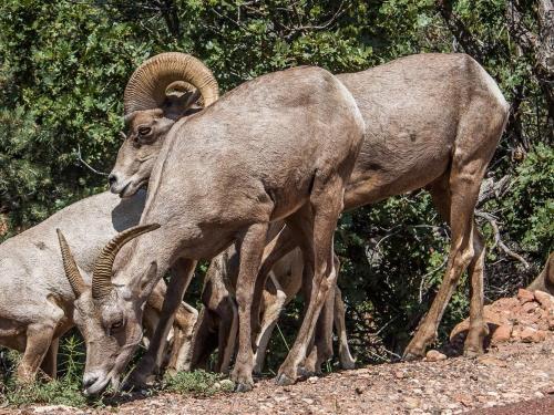 East Zion Big Horn Sheep