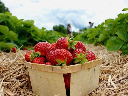 strawberry-farms1_800-1.jpg