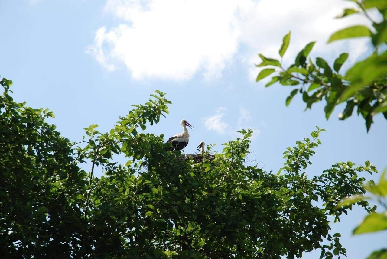 Storks in Karlamuiza