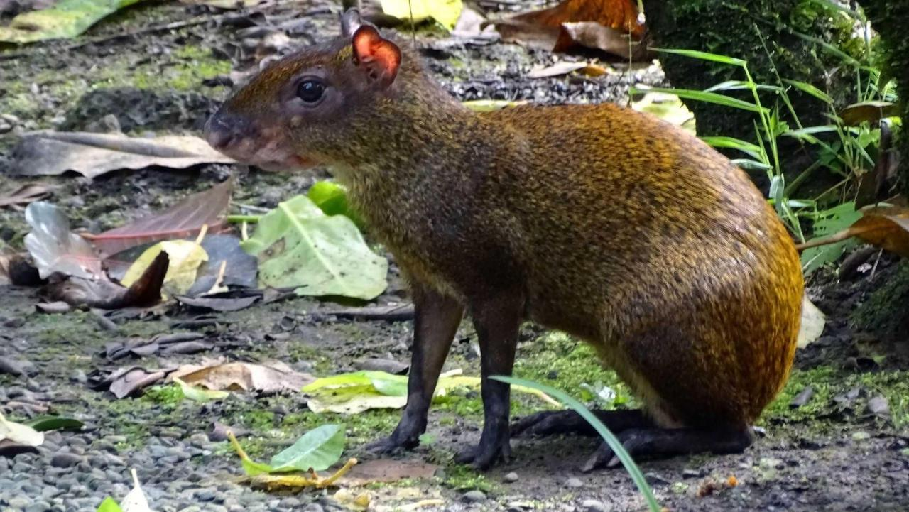 COMMON AGOUTI in our garden