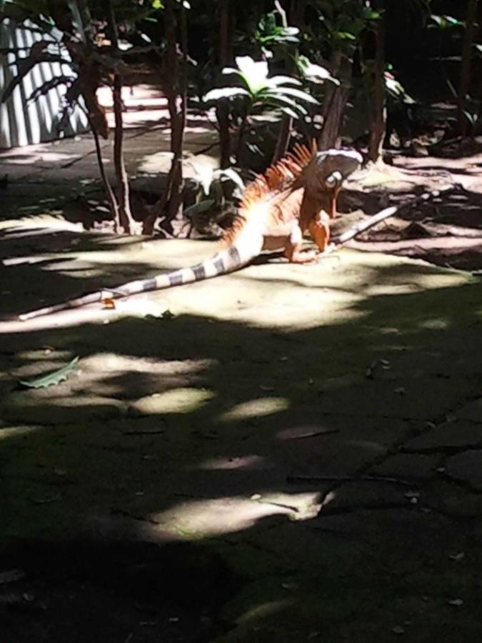 Property9 Iguana dorada, tomando sol en el patio de Hotel Apastepe