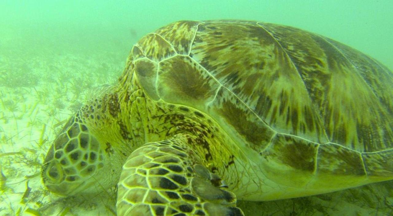 Turtle - Akumal resident.jpg