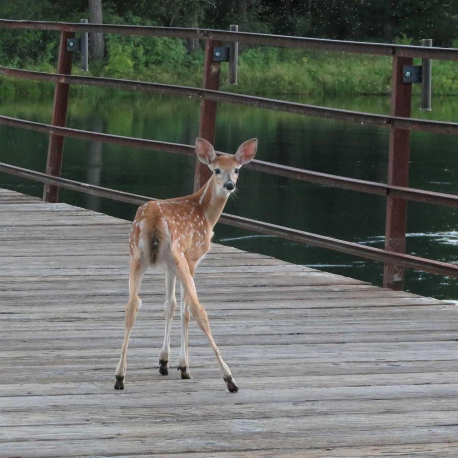 Fawn on Gallatin St Bridge by guest Linda Jackson.jpg