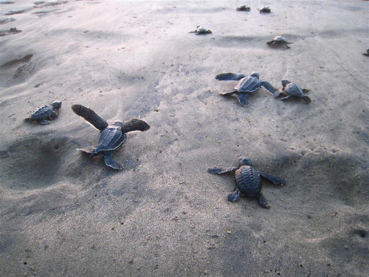 Baby Sea Turtles Release.jpg