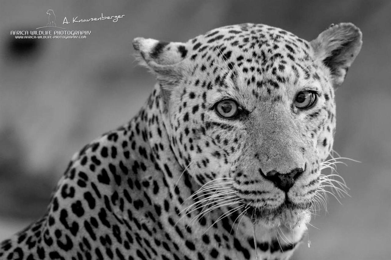 Leopard at Samburu waterhole.jpg