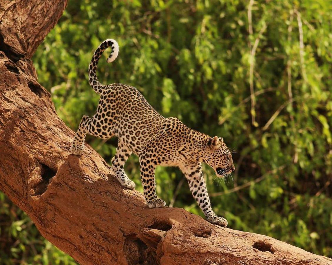 Incredible leopard sighting on safari with Saruni.jpg