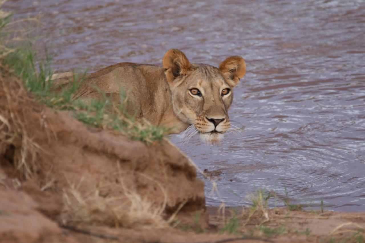 Alert lion.jpg