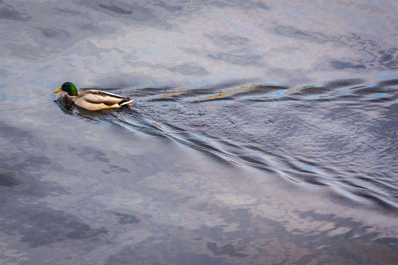 duck-with-wake.jpg.1024x0.jpg