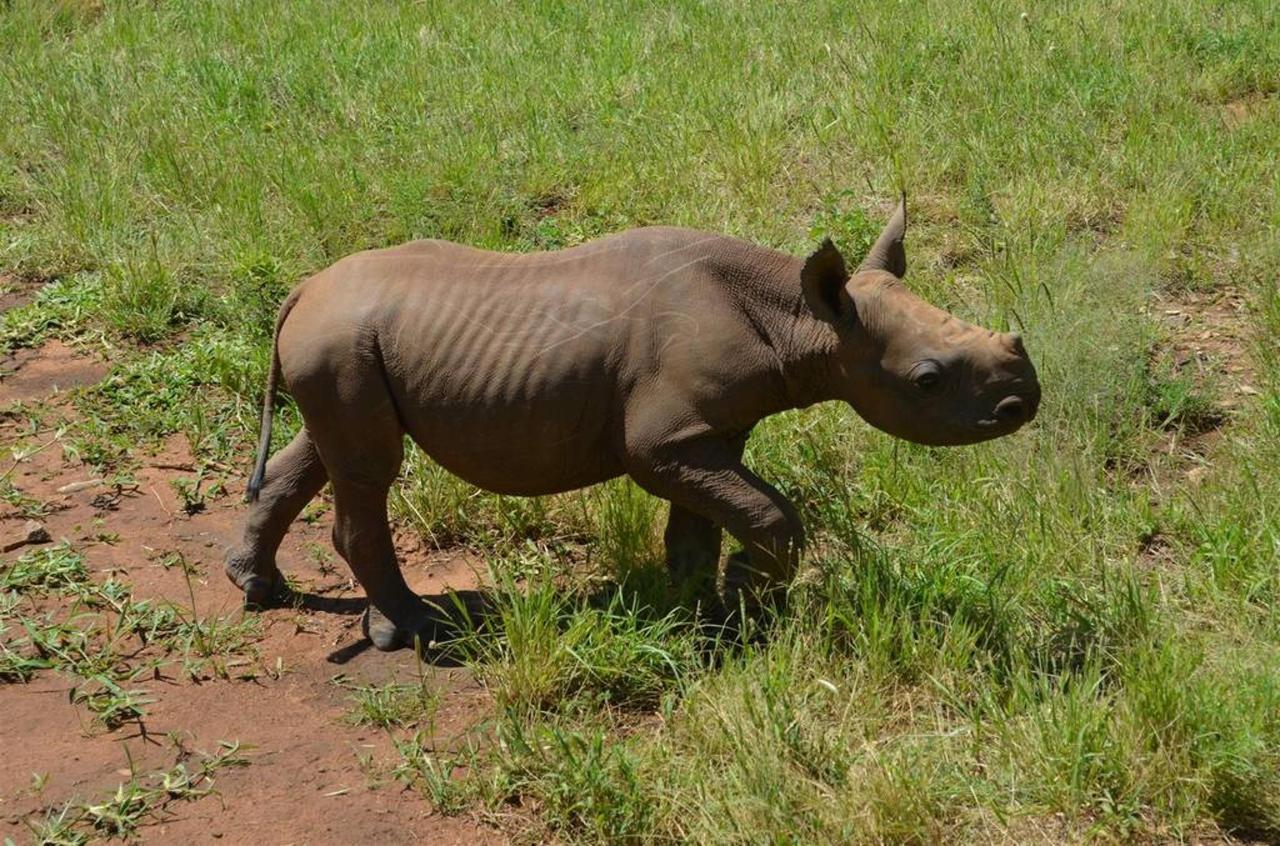 Loijupu abandoned rhino looking handsome.jpg