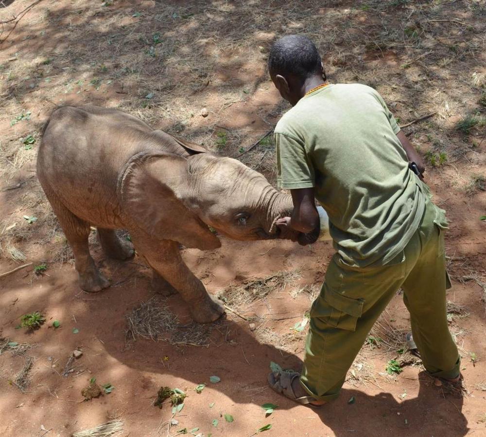 Milking time for baby ele orphan.jpg
