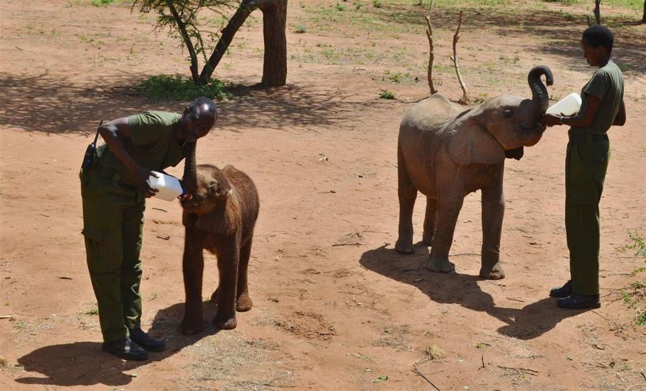 Milking time for baby ele orphans 2.jpg