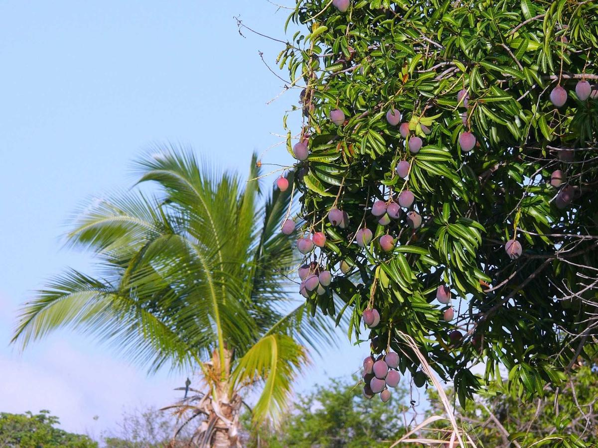 Look for mangoes at Zopango Island