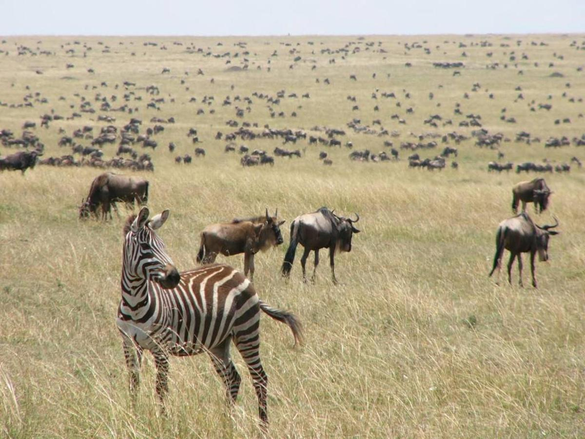 Wildebeests and zebra herds.jpg