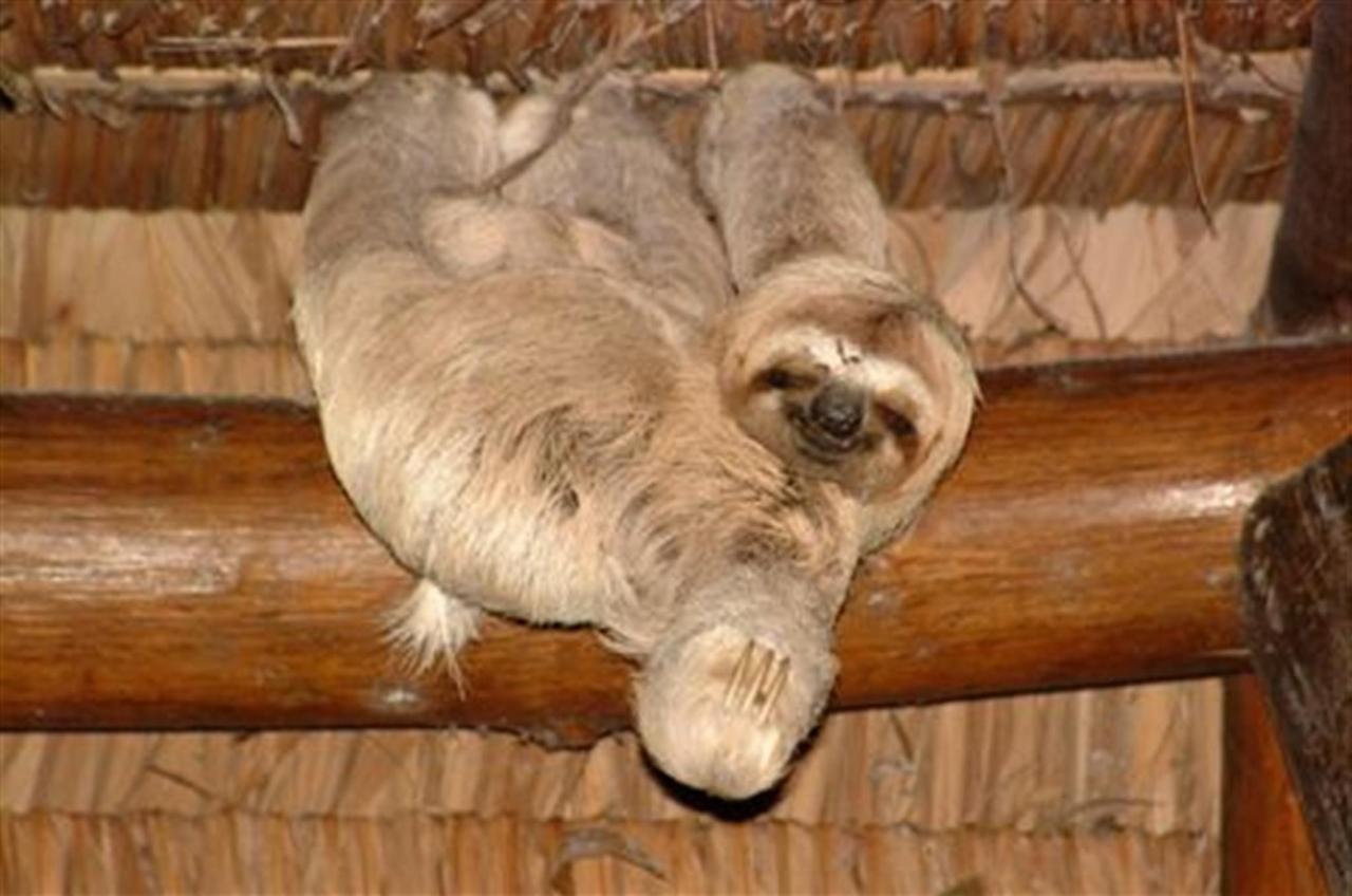 three-toed-sloth3sm.JPG.1024x0.JPG