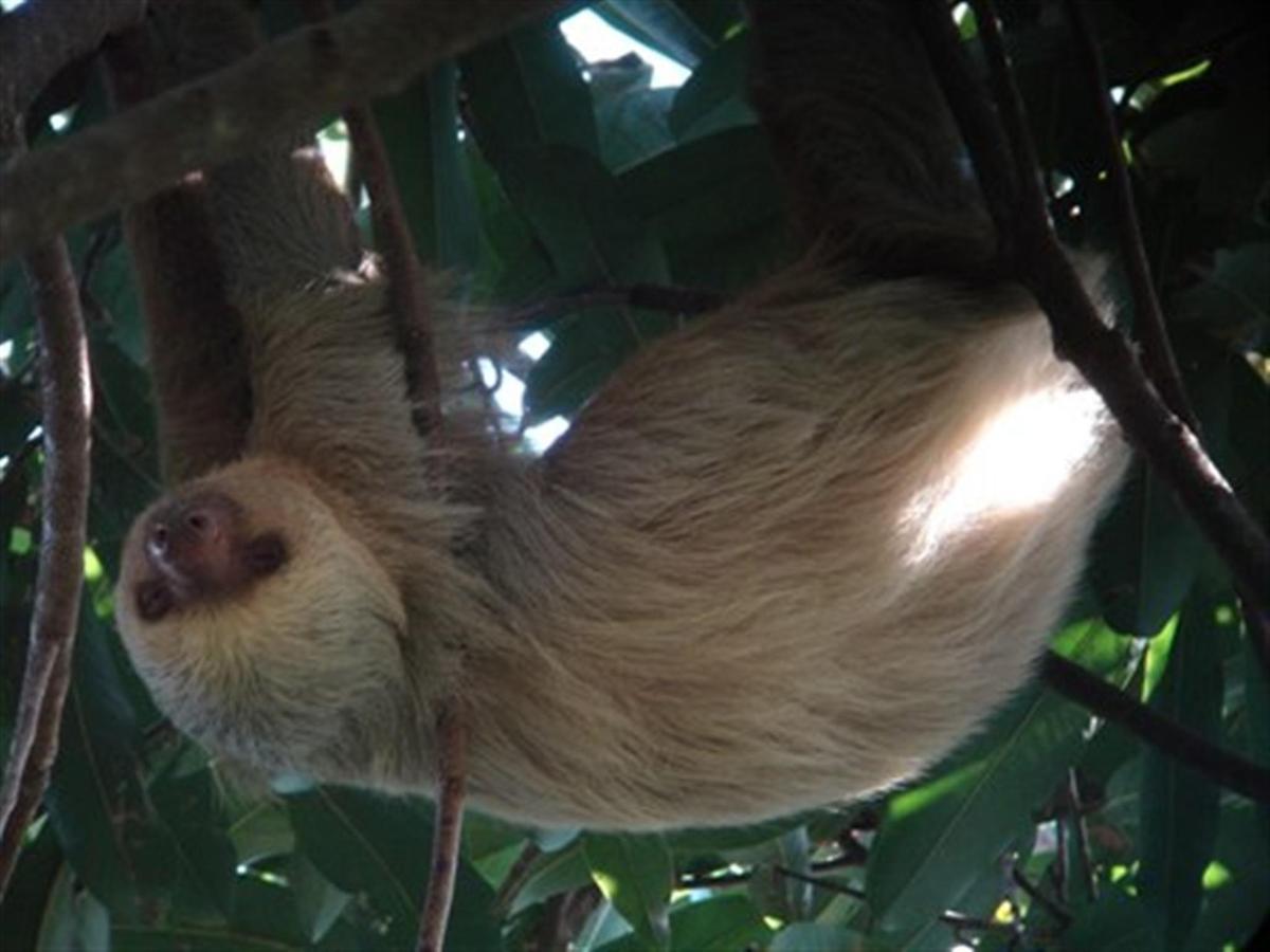 mammal-two-toed-sloth-sm.JPG.1024x0.JPG