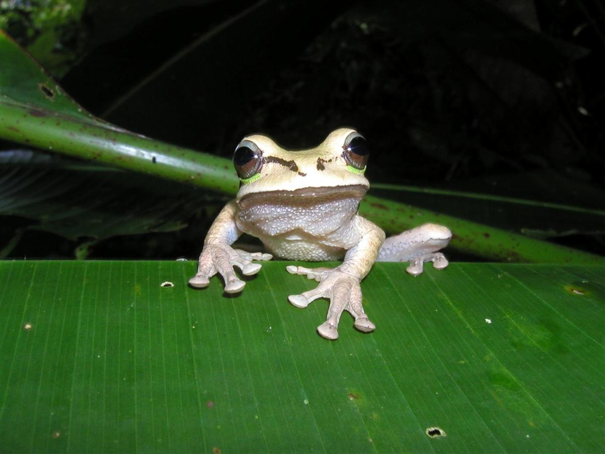 amphibian-masked-tree-frog-smilisca-phaeota.JPG.1024x0.JPG
