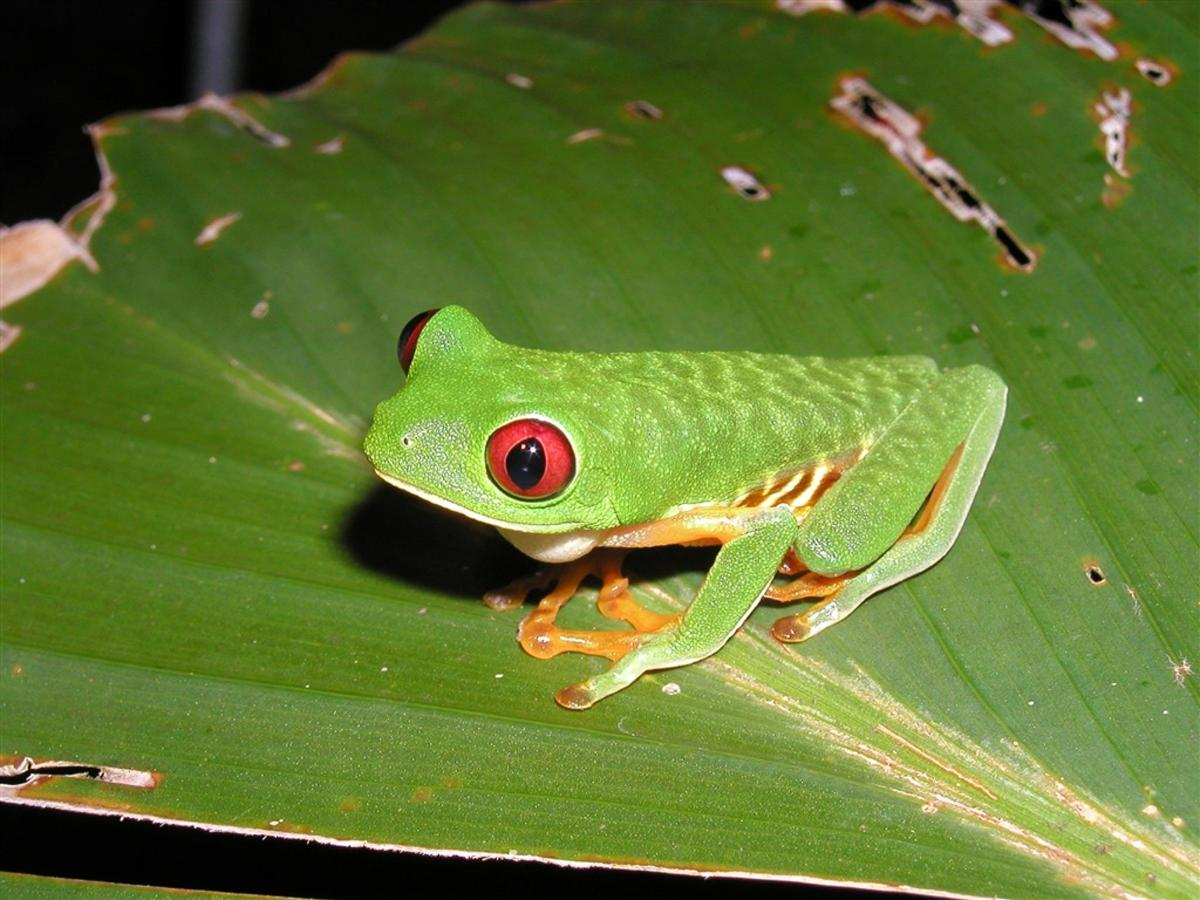 amphibian-red-eyed-tree-frog-agallycnis-callydrias.JPG.1024x0.JPG