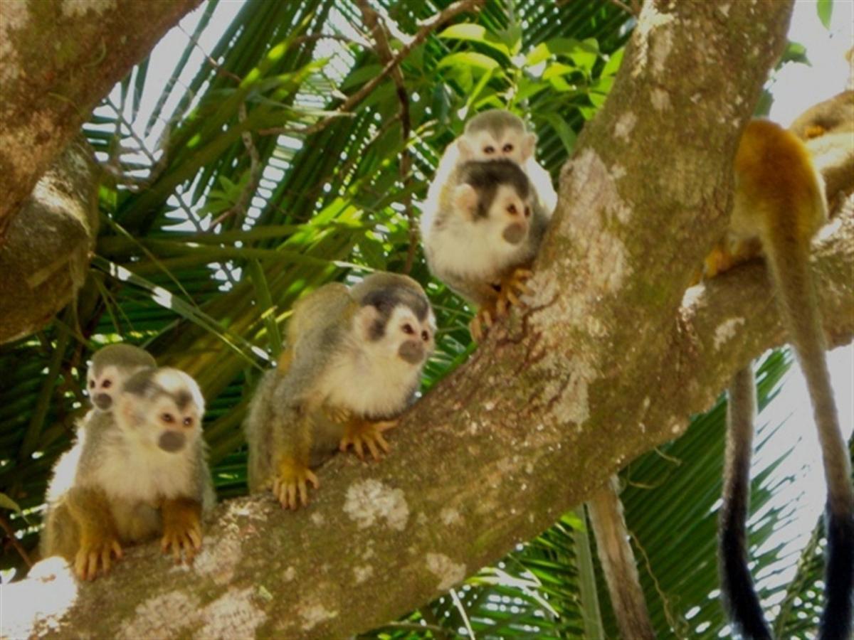 squirrel-monkeys-costa-rica-e.JPG.1024x0.JPG