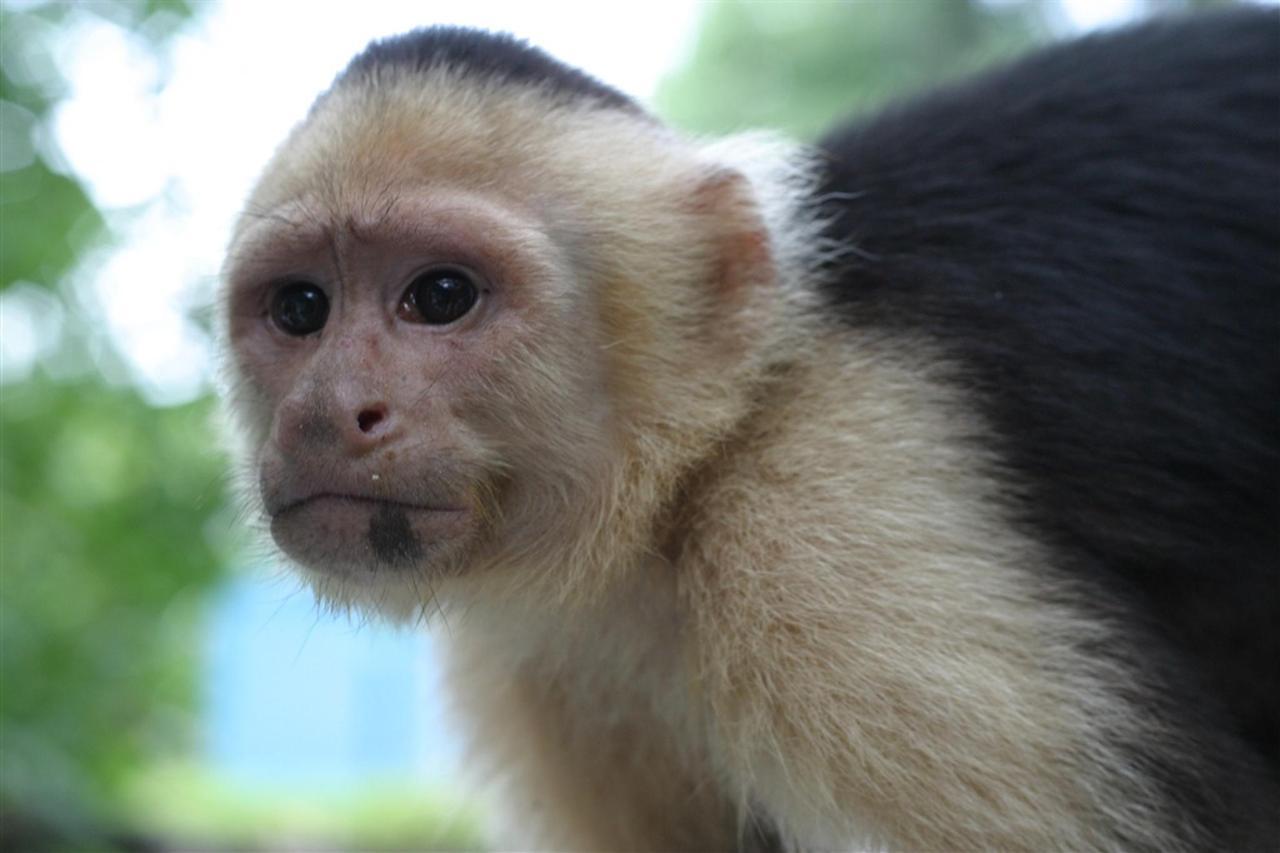 white-face-monkey-face-300-dpi.jpg.1024x0.jpg
