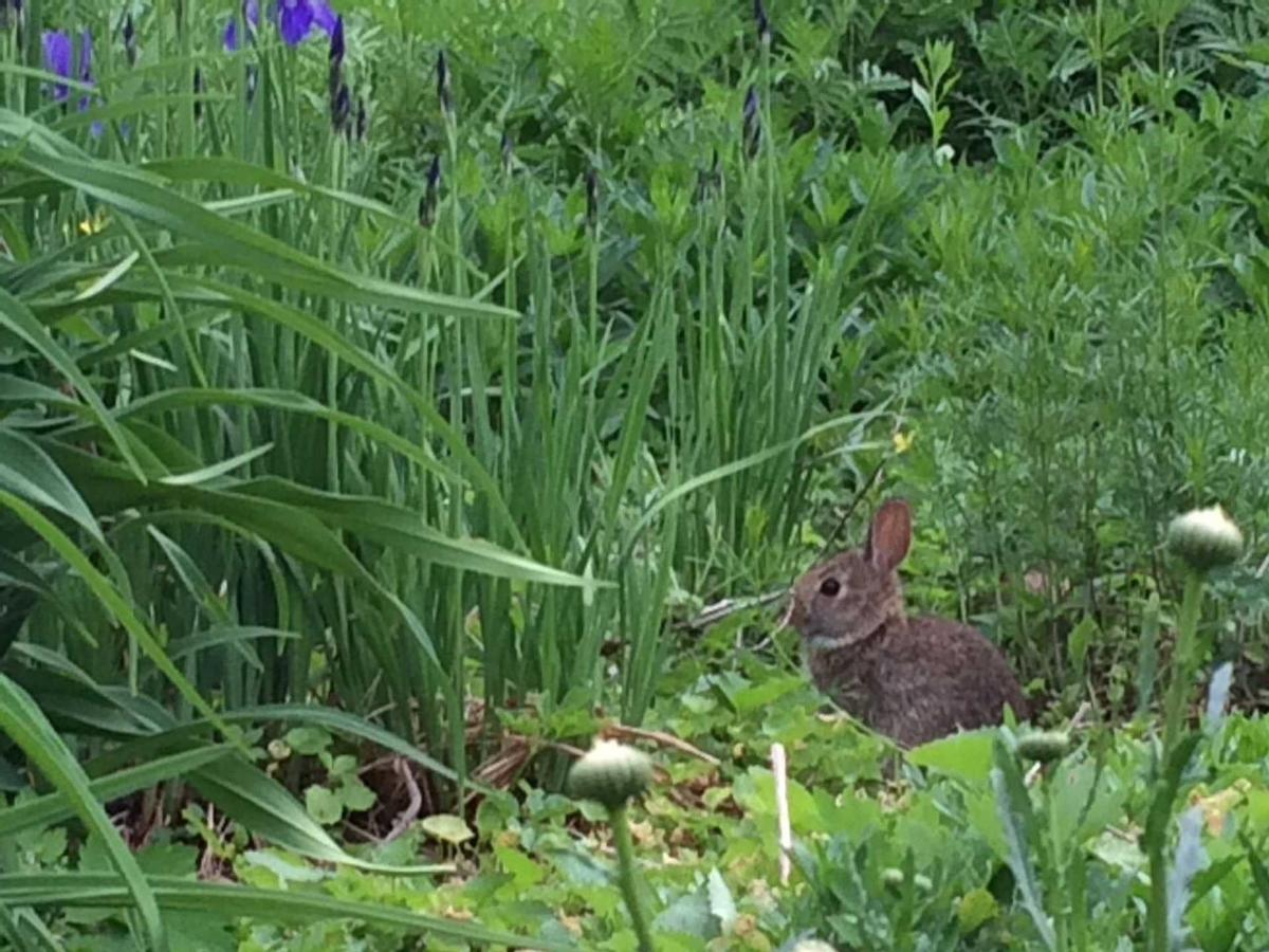 rabbit-in-front-garden.jpg.1920x0.jpg