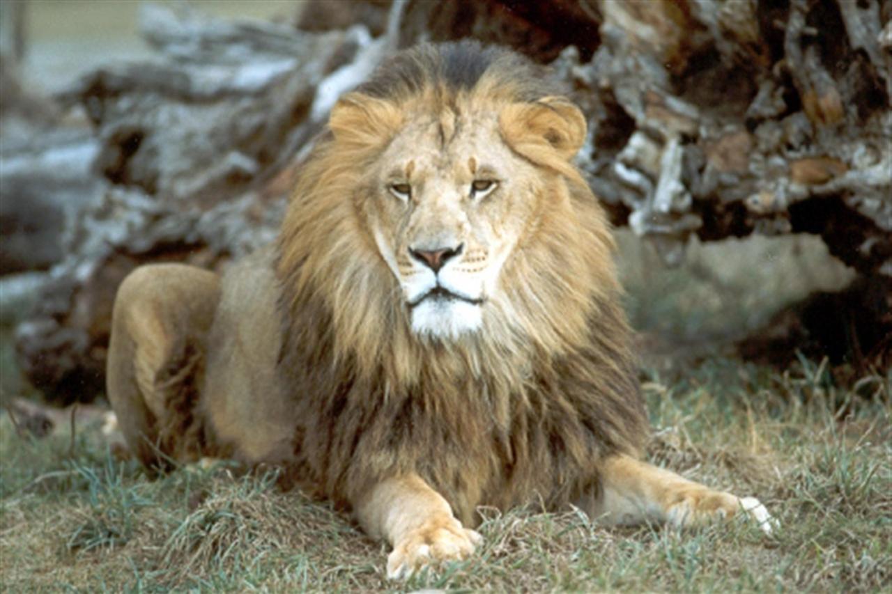 lionresting.jpg.1024x0.jpg