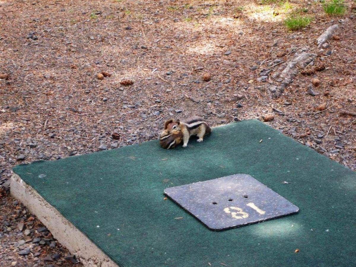 golf-course-chipmunk1.jpg.1080x0.jpg