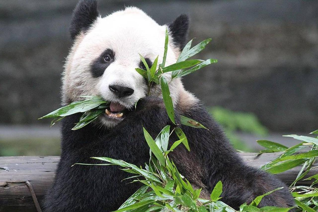 panda-er-shun.jpg.1080x0.jpg