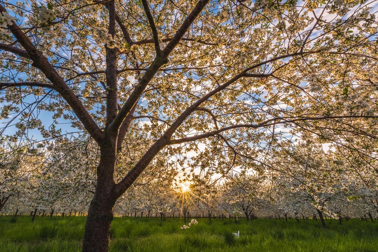 blossoms LC.jpg