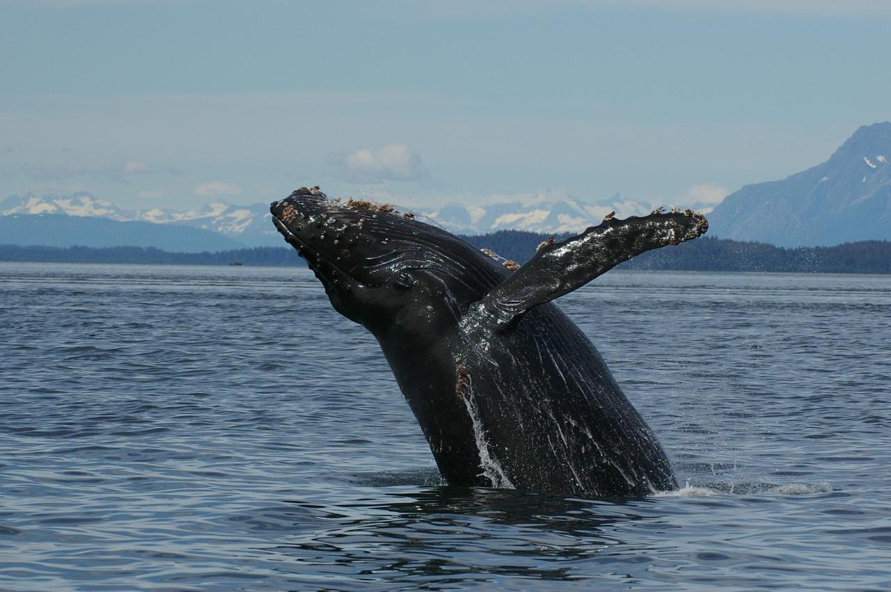 269 Humpback whales and orca102.JPG